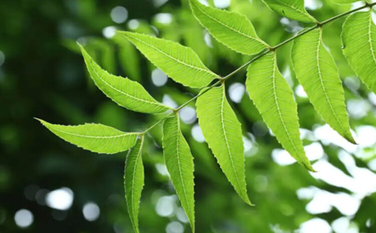 Neem Herb Nutrition – Know More About its Benefits and Uses