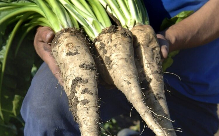 Chicory Root Nutrition Facts -know more about its benefits and uses