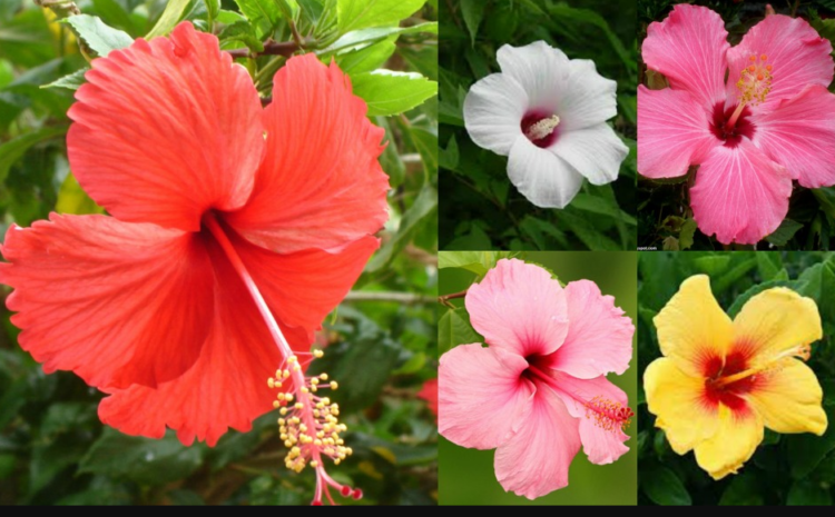 Hisbiscus Rosasinensis /Hibiscus- Know more about its Benefits and Uses