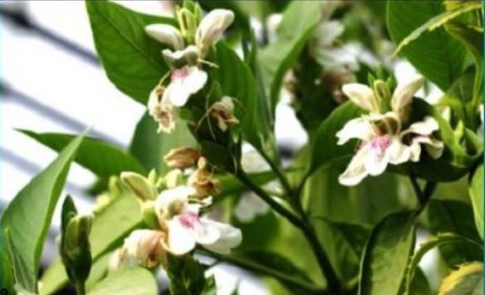 Adusa/Vasaka/Malabar Nut/Adhatoda vasica benefit and uses