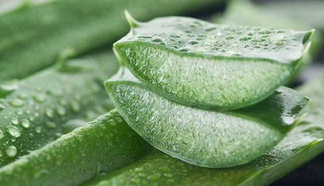 Aloe Vera Herb – Know more About its facts and Benefits