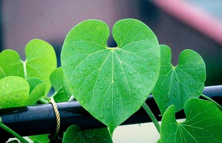 Tinospora Cordifolia (Giloy):  Health Benefits and uses