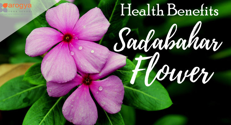 Catharanthus roseus facts – know its benefits and uses